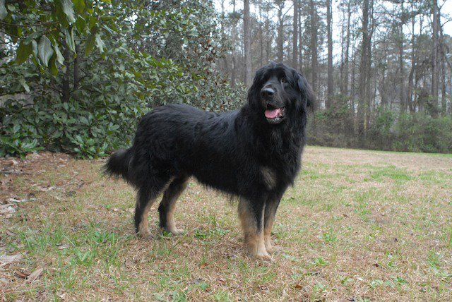 Leonberger Dog Black